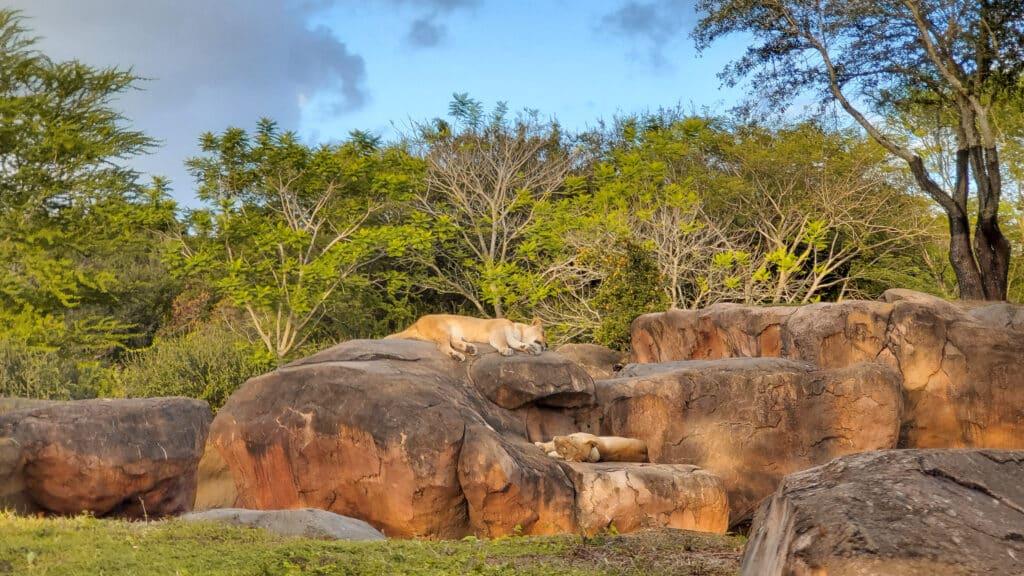Lions on Kilimanjaro Safaris